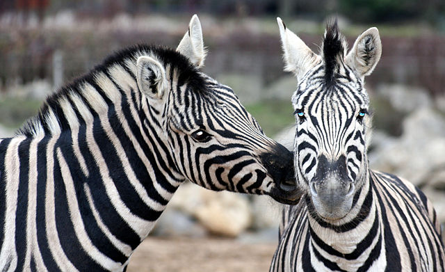You are browsing images from the article: Colchester Zoo - ogród zoologiczny we wschodniej Anglii